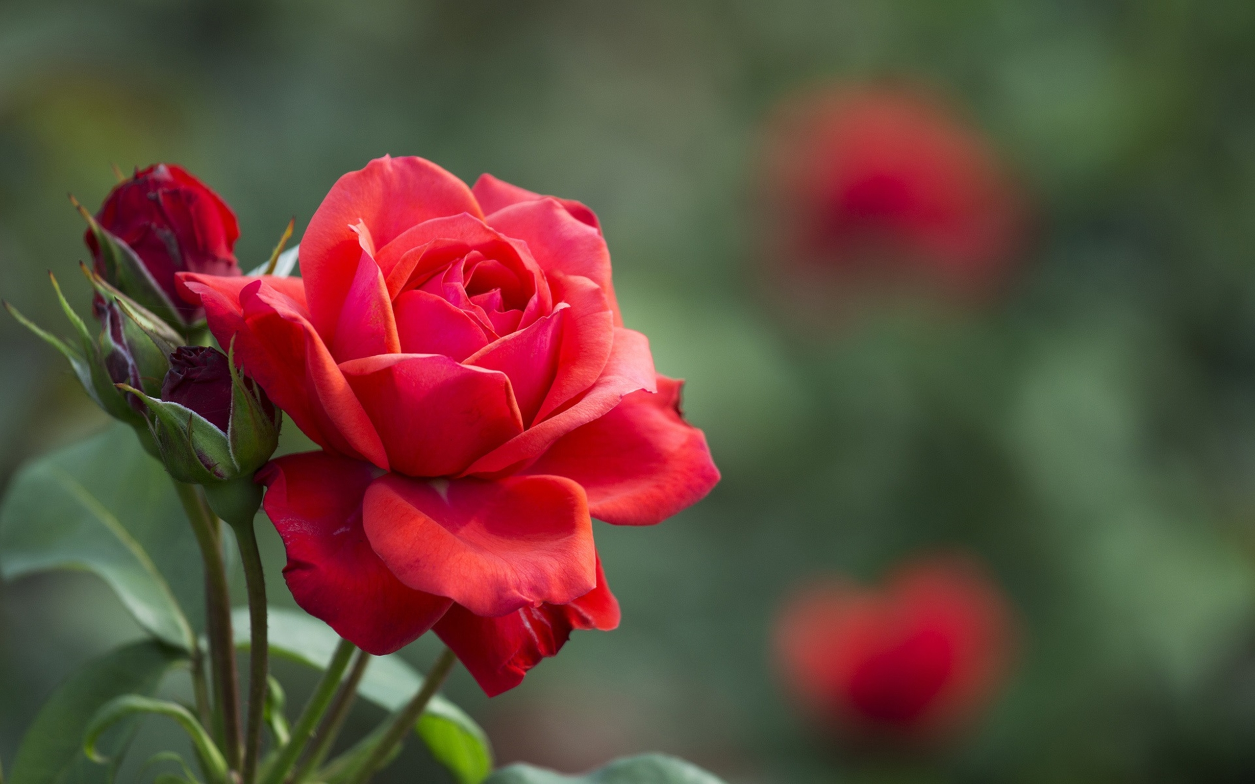 Red-rose-flower-buds-leaves-2560x1600
